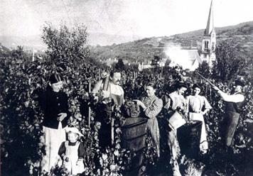 Weinlese in Gablenberg 1904, Slg. Blessing